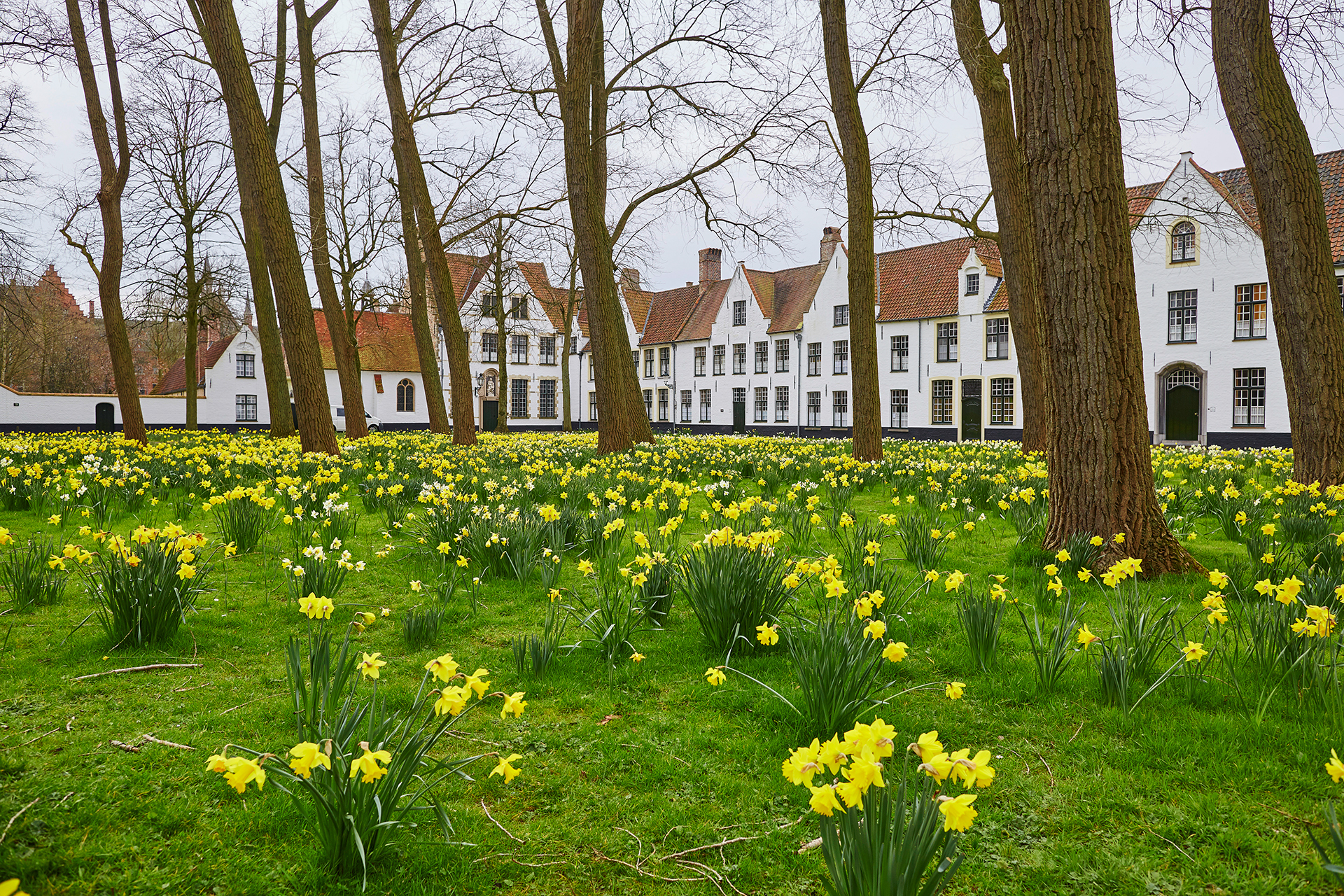 Yellow narcissus in Brugge Beguinage